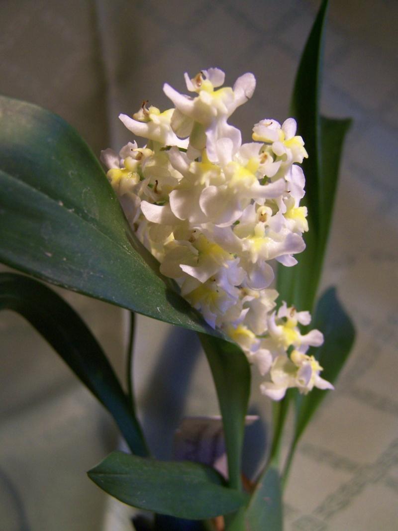 Miniatur-Orchideen 2. Teil - Seite 23 100_5113