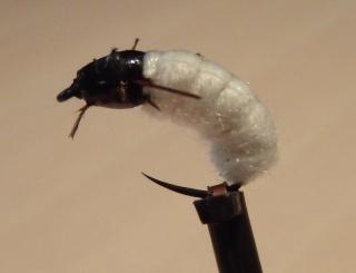 Nymphe de larve de trichoptère: Porte bois  P1293113