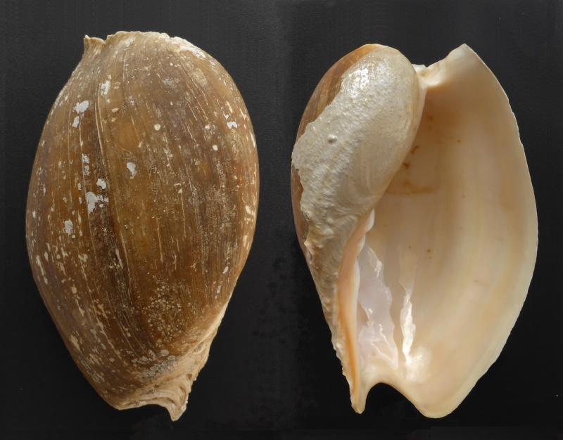 Cymbium tritonis - (Broderip, 1830) Cymbiu10
