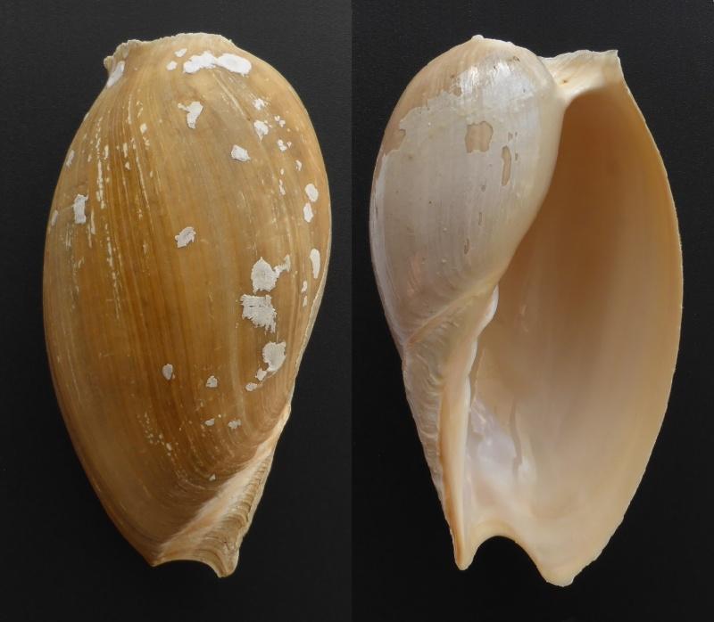 Cymbium tritonis - (Broderip, 1830) Cymbiu11