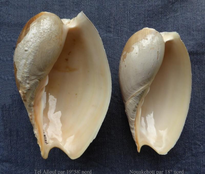 Cymbium tritonis - (Broderip, 1830) Cymbiu12