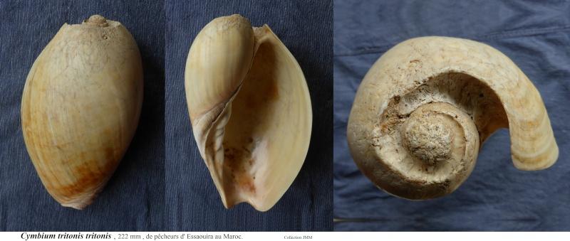 Cymbium tritonis - (Broderip, 1830) Cymbiu14