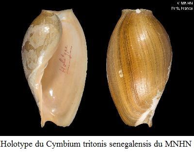 Cymbium tritonis - (Broderip, 1830) Cymbiu16