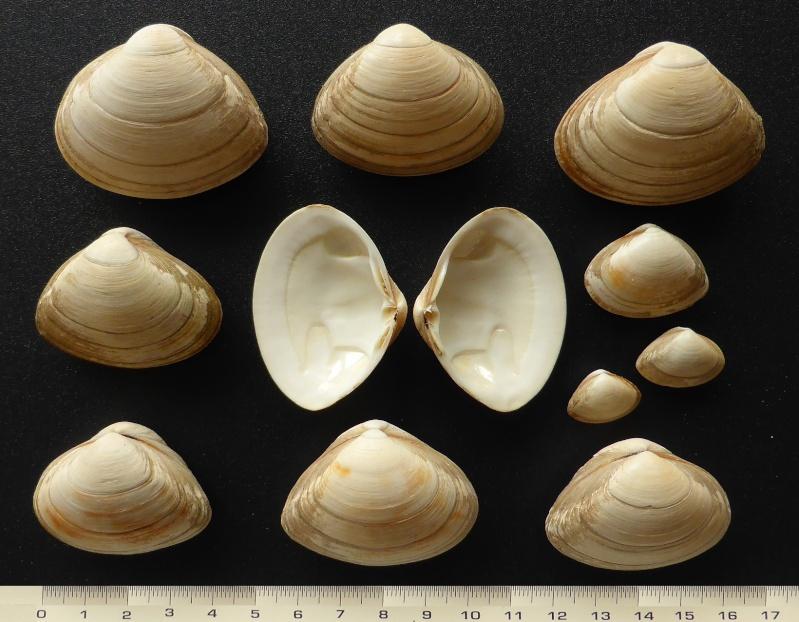 Spisula solida - (Linnaeus, 1758)  Mactra11