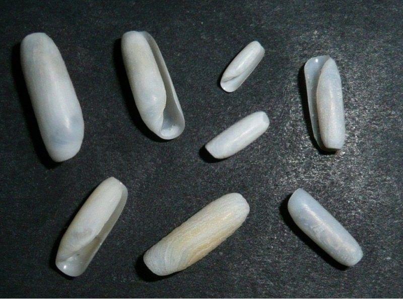 Cylichnidae - Cylichna cylindracea - (Pennant, 1777) Retusa10