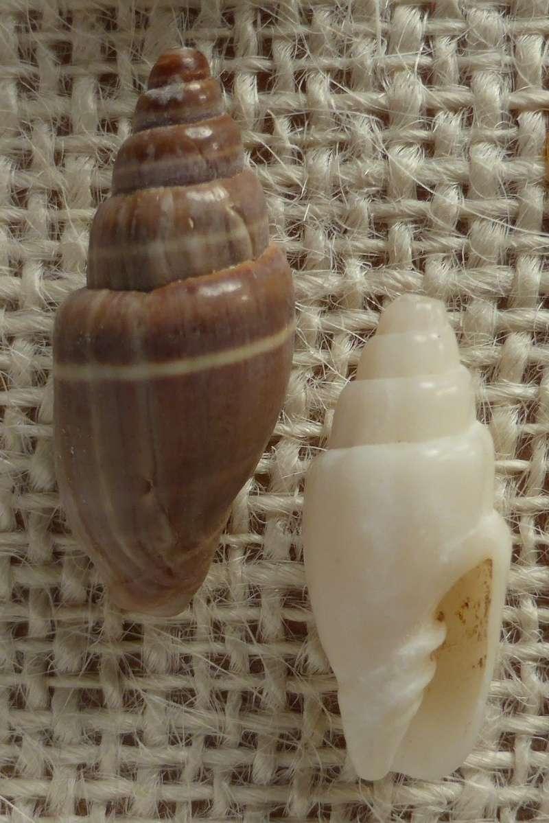 Pusia ebenus - (Lamarck, 1811) Vexill10