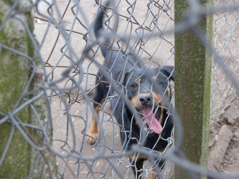 chien 39 - TAMS, M-X, taille moyenne, env. 23 kg, né 2012 (Fourrière BACKA) Pris en charge Animals Rescue - Page 2 P1030546