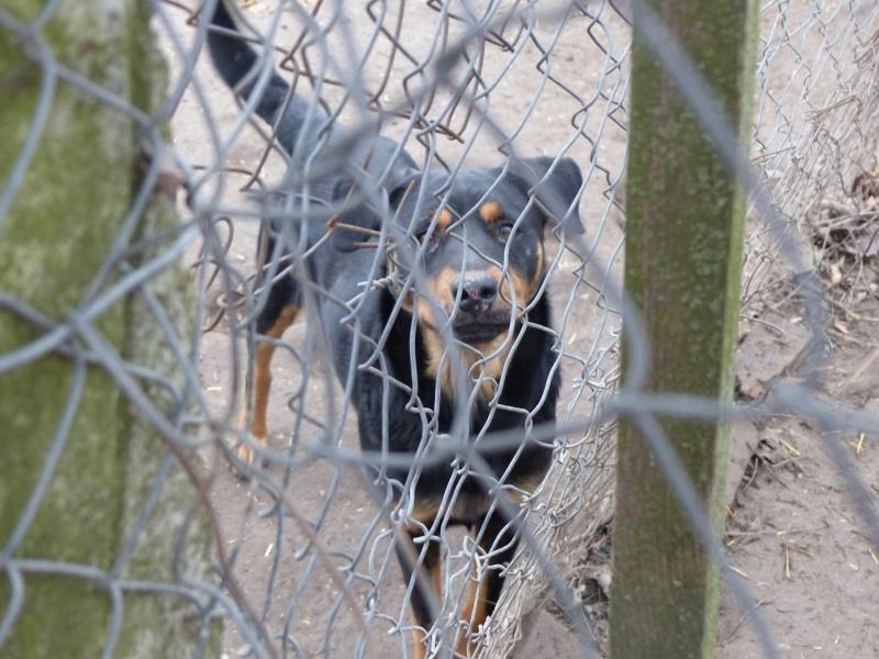 chien 39 - TAMS, M-X, taille moyenne, env. 23 kg, né 2012 (Fourrière BACKA) Pris en charge Animals Rescue - Page 2 P1030547