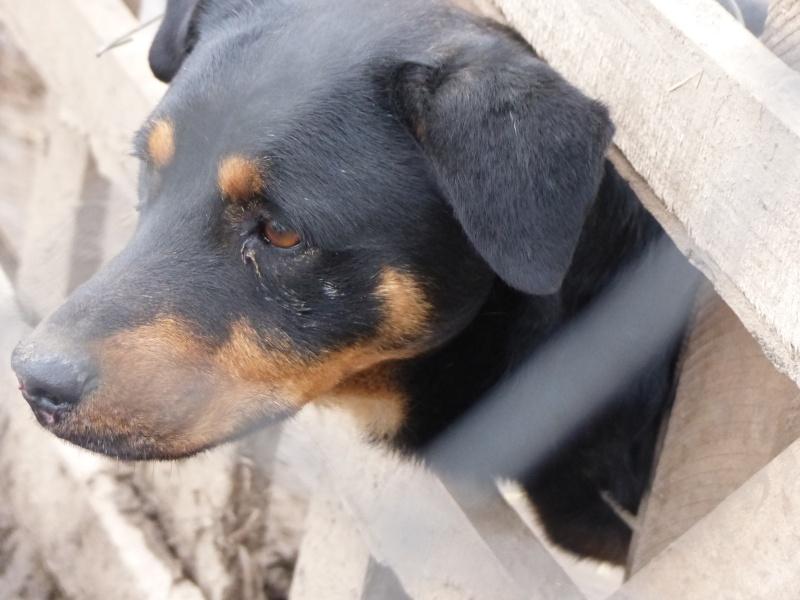 chien 39 - TAMS, M-X, taille moyenne, env. 23 kg, né 2012 (Fourrière BACKA) Pris en charge Animals Rescue - Page 2 P1030548