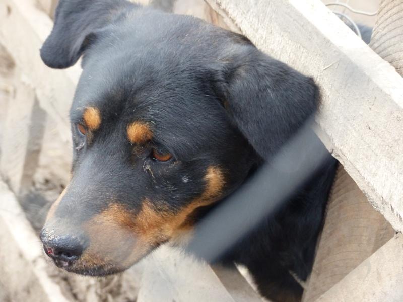 chien 39 - TAMS, M-X, taille moyenne, env. 23 kg, né 2012 (Fourrière BACKA) Pris en charge Animals Rescue - Page 2 P1030549