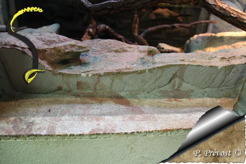 Corallus hortulanus - Avant - Après - Natrix maura 1211