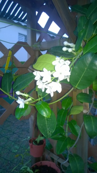 fructification de mon jasmin de madagascar Wp_20147