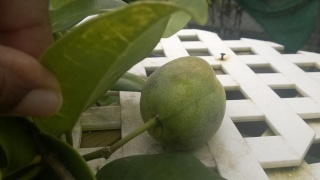 fructification de mon jasmin de madagascar Wp_20149