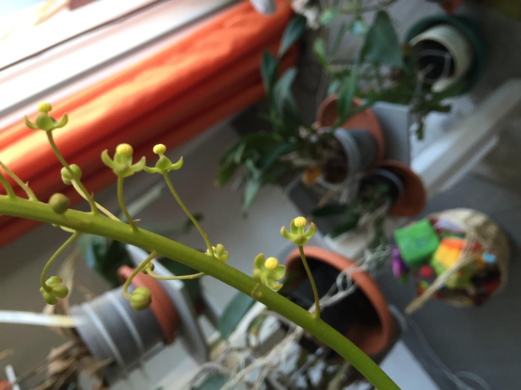 Nepenthes en extérieur - Page 2 Image11
