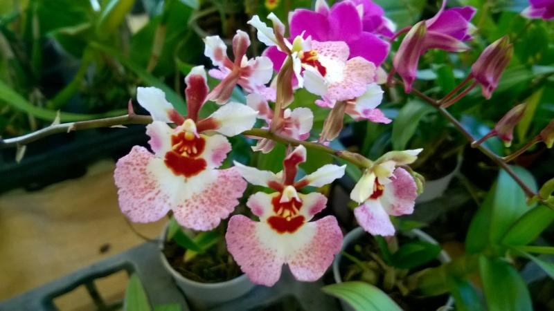 Salon de l'Orchidée à Vervins (02) Wp_20130