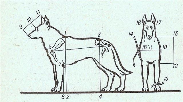 Основные стати и промеры собаки 0ba9c810