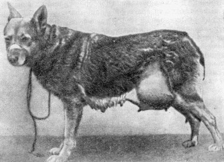 Грыжа у собак I_13510