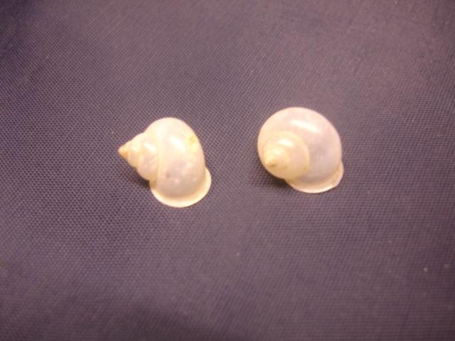 Leptopoma vitreum ou Leptopoma perlucidum (Grateloup, 1840) ? Dsc05010