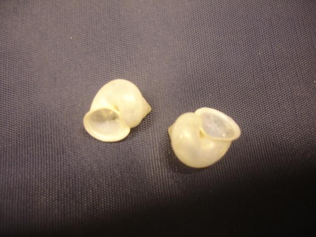 Leptopoma vitreum ou Leptopoma perlucidum (Grateloup, 1840) ? Dsc05011
