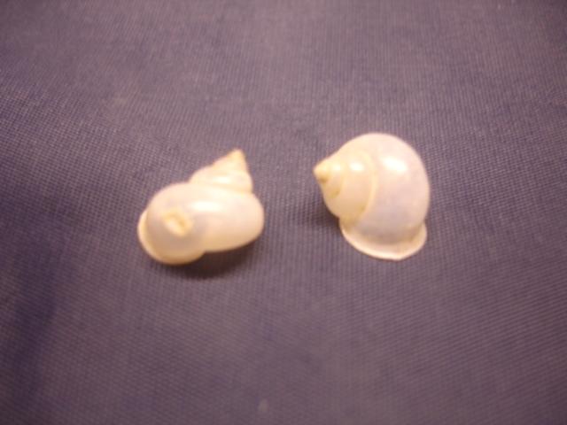 Leptopoma vitreum ou Leptopoma perlucidum (Grateloup, 1840) ? Dsc05014