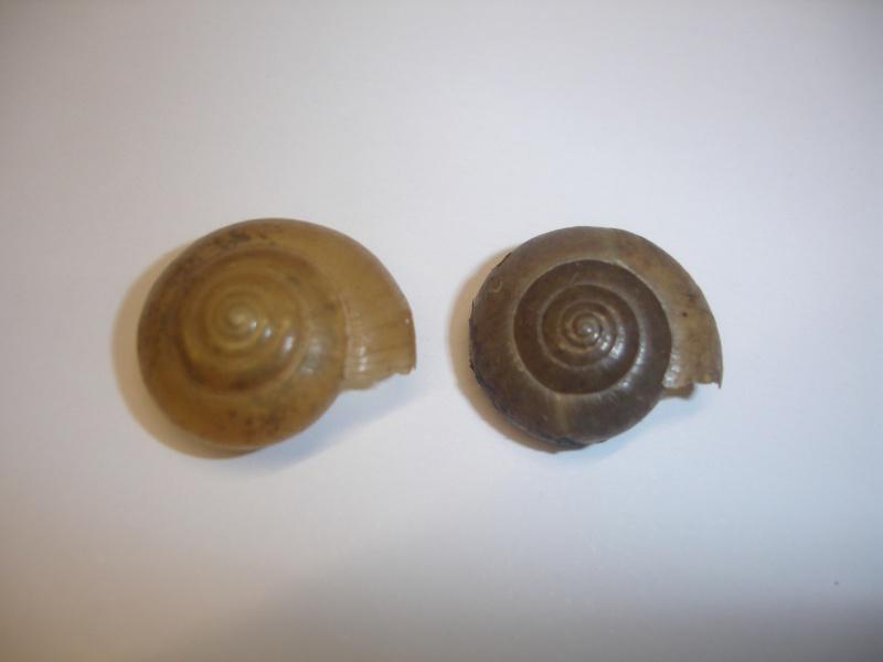 Macrochlamys indica (Pfeiffer, 1846) Dsc05116