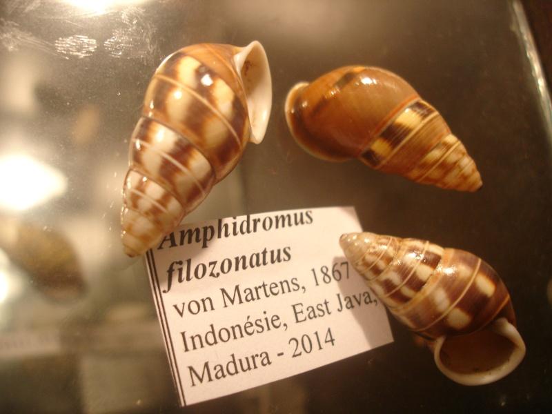 Amphidromus filozonatus (Von Martens, 1867) Dsc05152