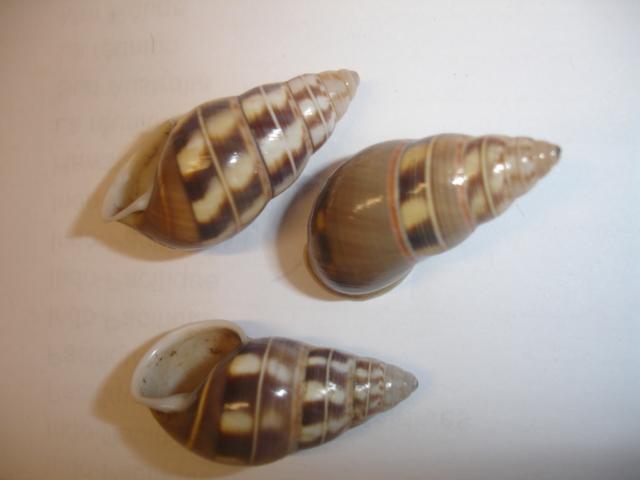 Amphidromus filozonatus (Von Martens, 1867) Dsc05155