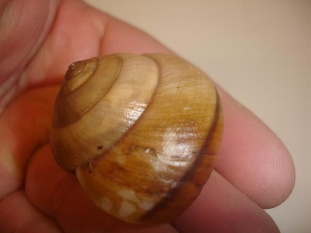 Hemiplecta humphreysiana (I. Lea, 1841) Dsc05247