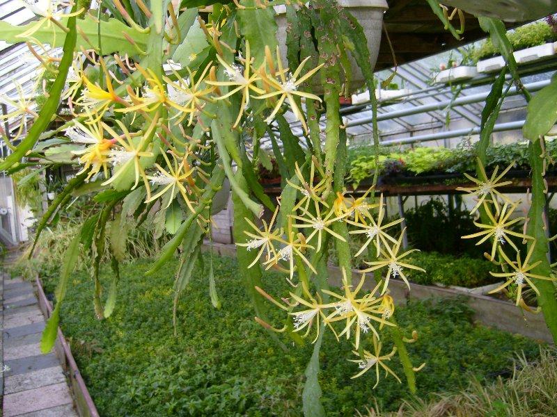 Disocactus macranthus Disoca11