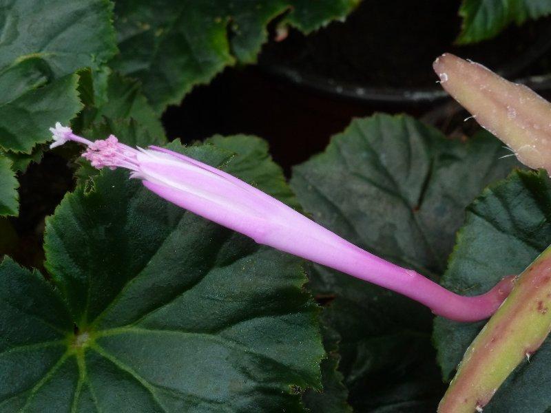 Disocactus quetzaltecus Disoca13