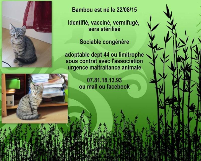 BAMBOU - mâle tigré - 08/2015 - UMA (44) Bambou11