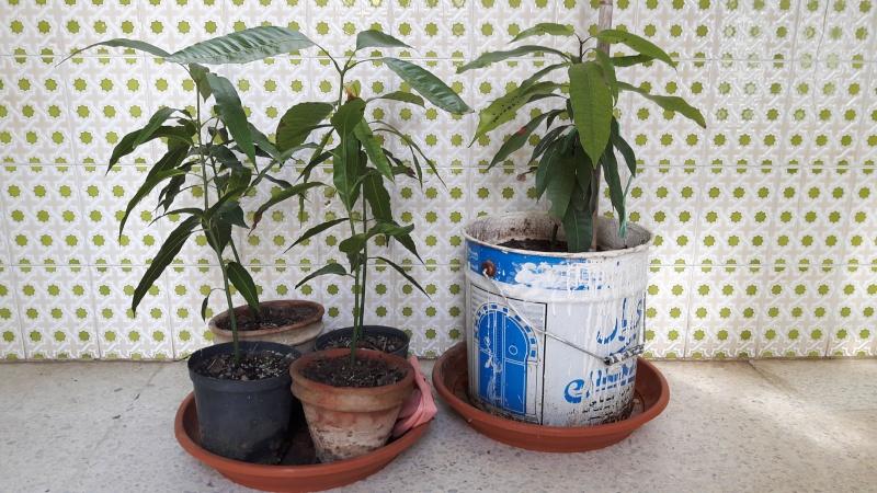 Plantation de manguier? feuilles fanée ? 20160210