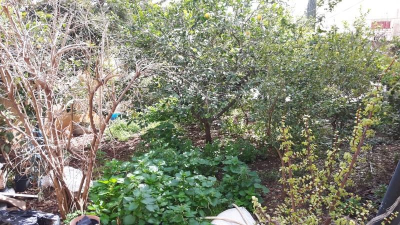 Plantation de manguier? feuilles fanée ? 20160211