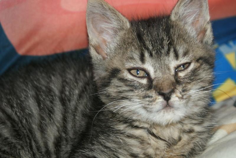 DIEGO, très beau petit tigre de 4 mois Dsc01611