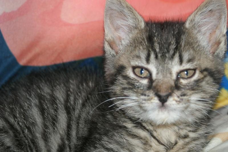 DIEGO, très beau petit tigre de 4 mois Dsc01612