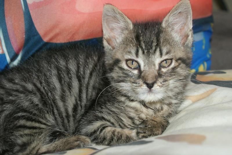 DIEGO, très beau petit tigre de 4 mois Dsc01613