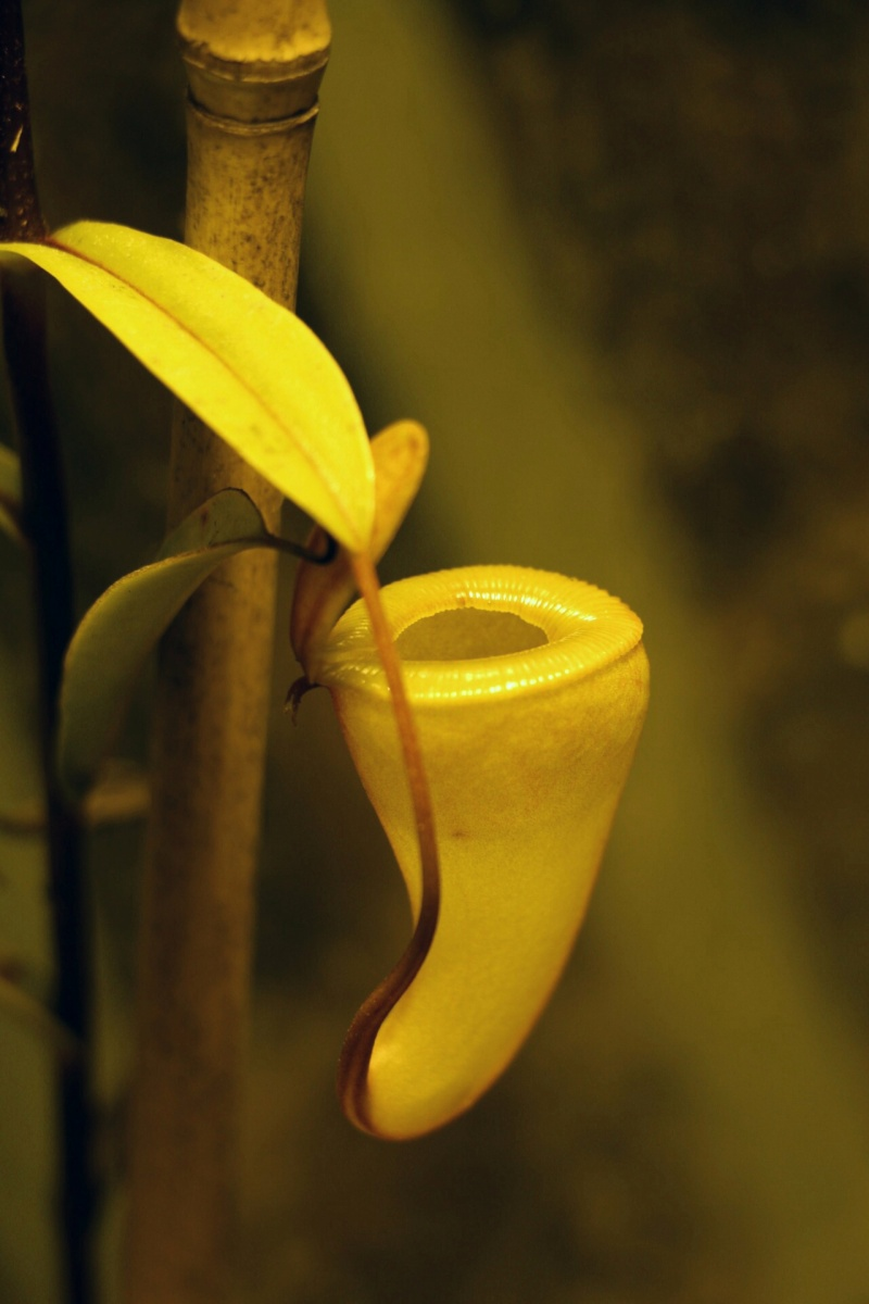 Nepenthes dubia  2016-011