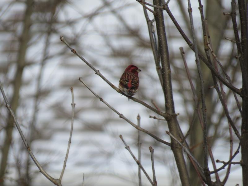 Mon rouge et  roselin femelle aux fruits du frêne Img_7810
