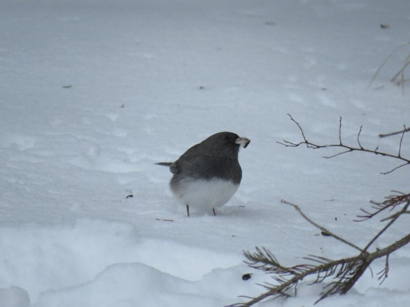 Junco dans la neige Img_8110