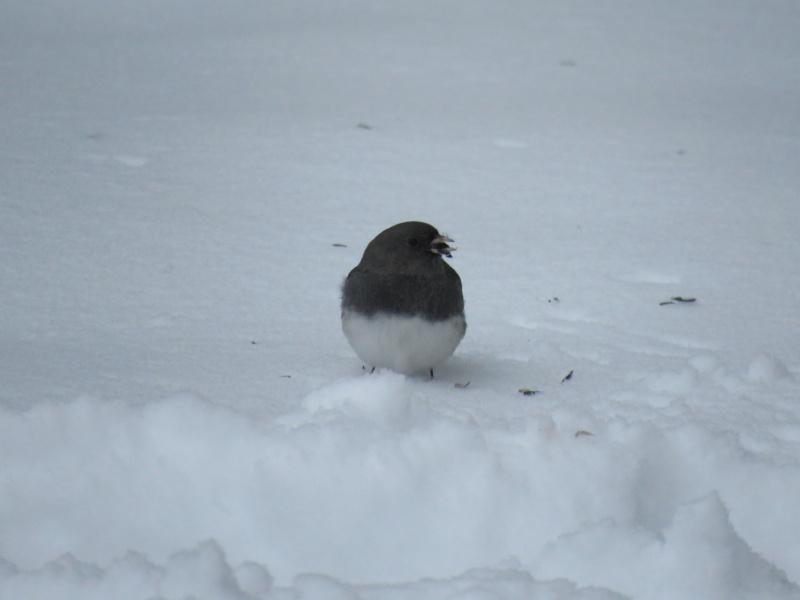 Junco dans la neige Img_8111