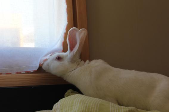 [ADOPTE] Baloo, jeune lapin de laboratoire à adopter 58980010