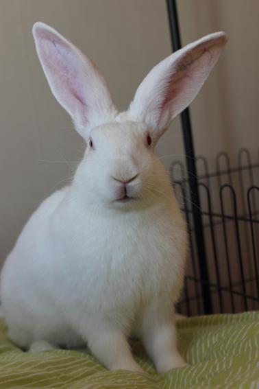 [ADOPTE] Baloo, jeune lapin de laboratoire à adopter 60098110