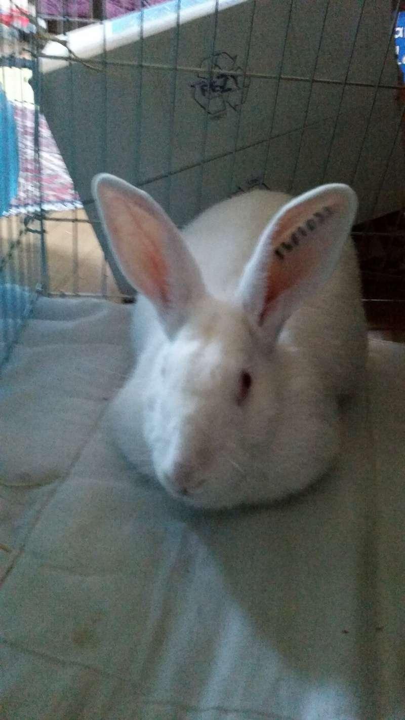 [ADOPTEE] Alice, lapine de laboratoire  86114310