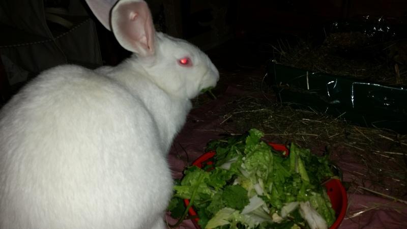 [ADOPTEE] Alice, lapine de laboratoire  92524010