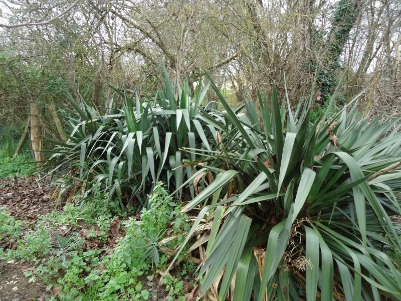 Quelques plantes non carnivores ( hiver ) Dsc02423