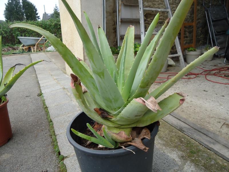 Quelques plantes non carnivores ( hiver ) Dsc02429