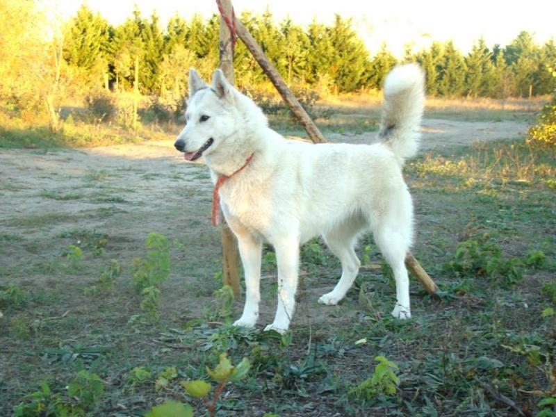 Lo-Jack Alias Ghost (Sibirian husky) 10420010