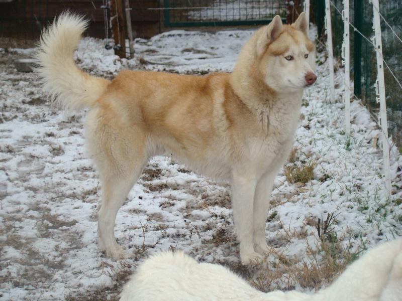 Lo-Jack Alias Ghost (Sibirian husky) 10925410