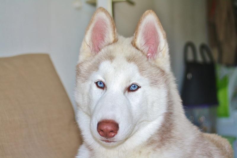Lo-Jack Alias Ghost (Sibirian husky) 16_oct12