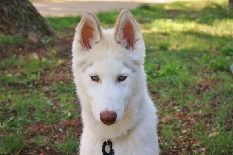 Lo-Jack Alias Ghost (Sibirian husky) Img_2510